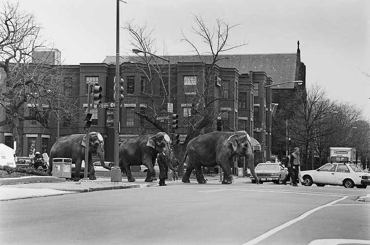 The Circus (Ringling Brothers and Bailey) is in town. Elephants walk down in Massachusetts Avenue North East (past Union Station/FJB) on April 8, 1993. (Photo by Laura Patterson/CQ Roll Call via Getty Images)