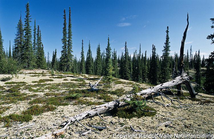 Glissen skog i området ved Snare Lake i Canada. ---- Forest by Snare Lake, Canada.