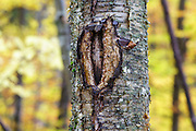 October 2016 - A man-made wound on a yellow birch tree along the Mt Tecumseh Trail in New Hampshire. This wound is the direct result of man not using proper protocol to remove a painted trail blaze from the tree. The blaze was painted on the tree in 2011, and then improperly removed (by cutting and peeling the bark off) from the tree in the spring of 2012. See how it looked like before it was removed: http://bit.ly/1Q4W1Pj