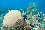Gardens of the Queen, Cuba; a large dome colony of Symmetrical Brain Coral (Diploria strigosa), sea rods, sponges and sea fans growing on the coral reef