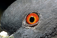 1Z06-014z  Pigeon - Rock Dove, close-up of eye - Columba livia