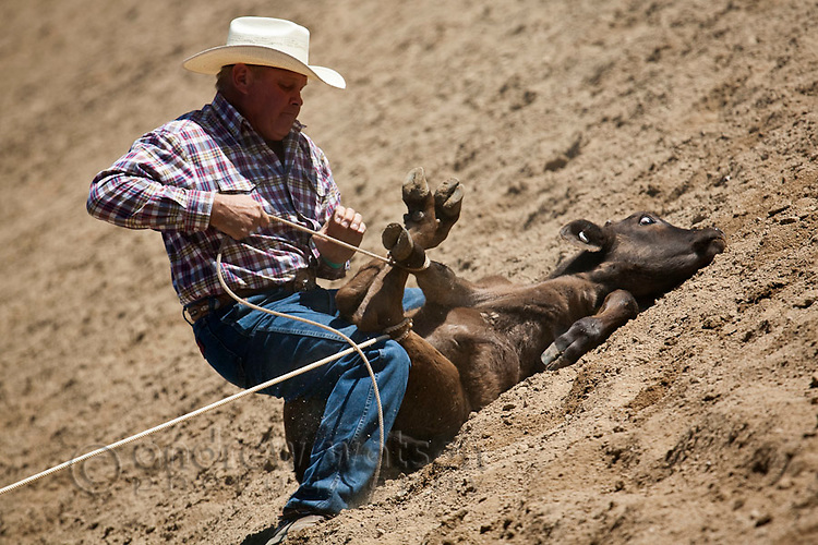 Cowboy calf-roping at the Mareeba Rodeo.  Calf-roping involves the competitor on horseback first lassoing the calf and then dismounting to throw the calf and bind its legs.  Mareeba, Queensland, Australia
