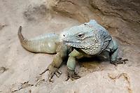 blue iguana, blue dragon iguana, Cyclura lewisi, family: Iguanidae, endangered & endemic species, ( c)