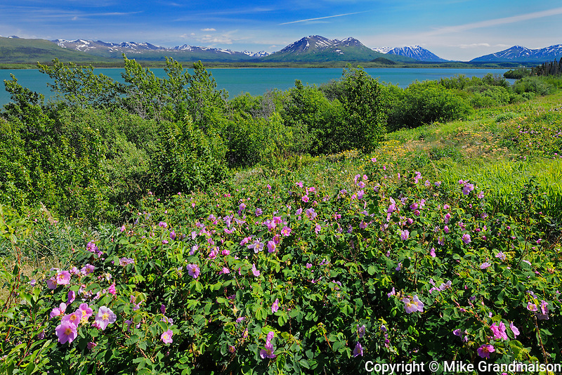 Roses along the Haines Road<br /> Haines Road north of Haines Junction<br /> Yukon<br /> Canada