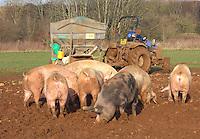 Feeding sows with the feeder wagon.