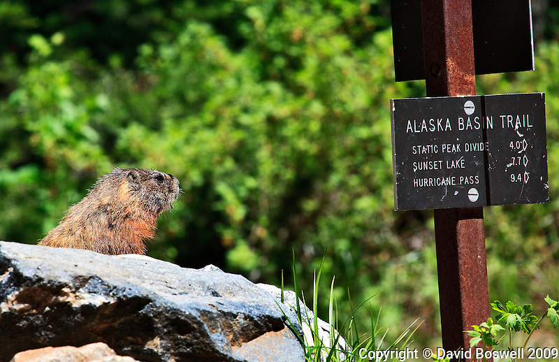 A marmot in Death Canyon, Grand Teton National Park seems to point the way on The Alsaska Basin Trail.
