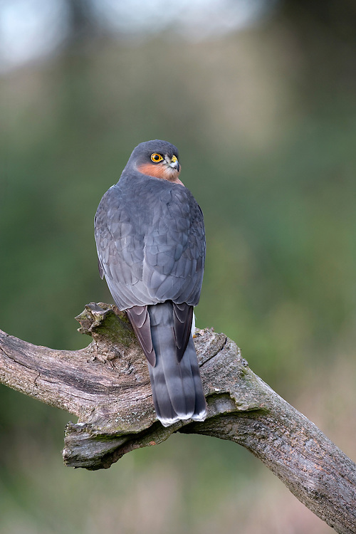 Sparrowhawk Accipiter nisus W 60-75cm. Widespread but secretive raptor that catches small birds in flight in surprise, low-level attacks. Has relatively short, rounded wings, long, barred tail, long legs and staring yellow eyes. Male is much smaller than female and also separable on plumage details. Adult male has blue-grey upperparts; pale underparts are strongly barred and reddish brown on body and wing coverts. Adult female has grey-brown upperparts and pale underparts with fine, dark barring. Juvenile has brownish upperparts, and pale underparts with broad, brown barring. Voice Utters a shrill kew-kew-kew in alarm. Status Common, associated mainly with wooded habitats, both rural and suburban.