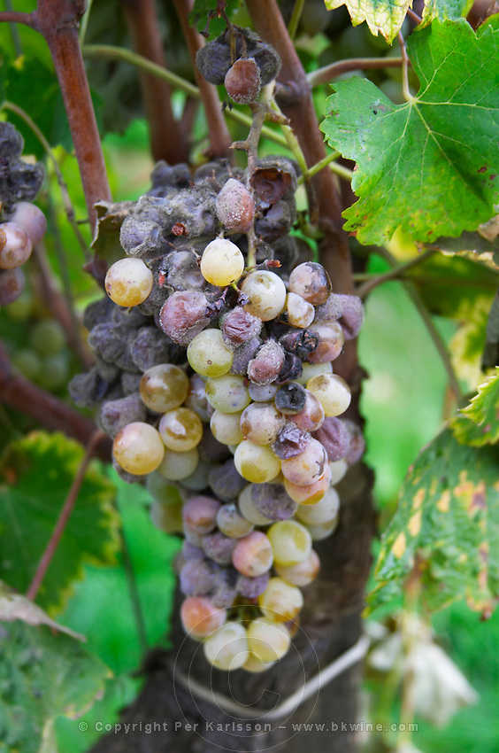 Bunches of ripe grapes. Chateau Climens. Sauternes, Bordeaux, France