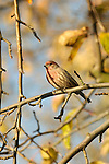 Male house finch on tree limb.