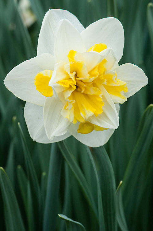 Narcissus 'Double Star', mid April.