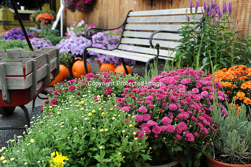 Chrysanthemums and Pumpkings for Sale at Apple Orchard in Vermont USA