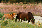 Chincoteague pony mare and foal, Assateague National Wildlife Refuge, Virginia