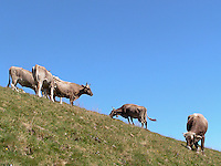 Mucche al pascolo sulle montagne occidentali del lago di Como...Cows in pasture on the west mountains of the Como lake.
