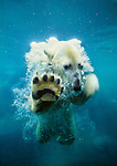 Polar bear playing in the water. (captive)