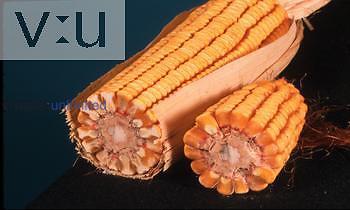 Fruit types ,Caryopsis, grain corn ,Zea mays,