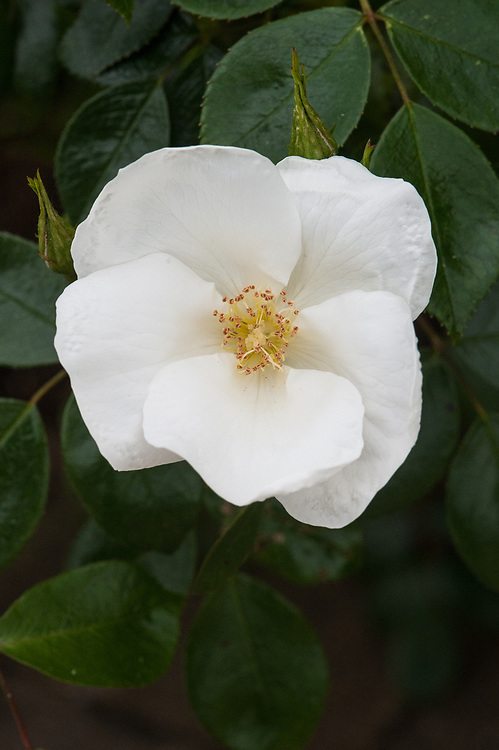 Rosa Silver Ghost ('Kormifari'), late May. A shrub rose with single white flowers from early summer through to autumn.