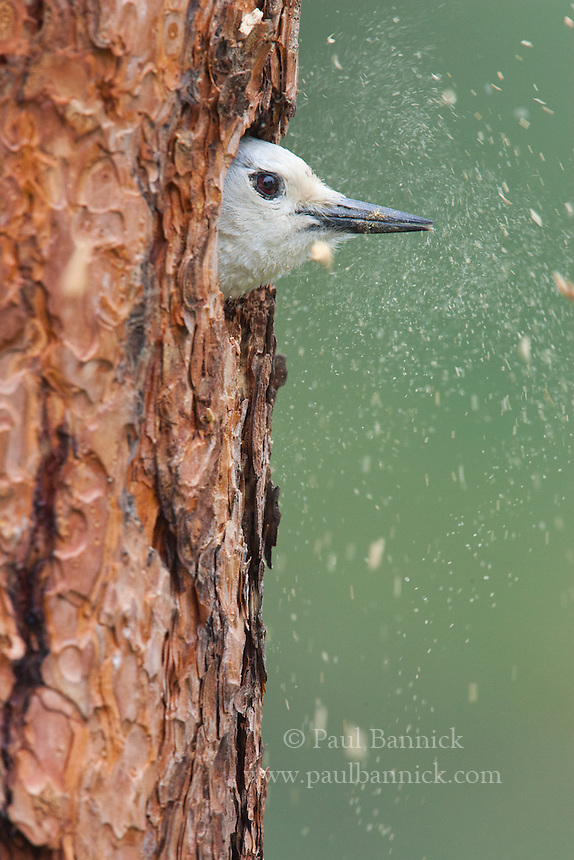 A White-headed Woodpecker throws chips from a Ponderosa pine snag as he excavates a nest cavity. White-headed Woodpecker cavities are inherited by a number of other Ponderosa pine denizens, including Flammulated Owls and Pygmy Nuthatches.