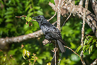 The endemic Cuban Crow (Corvus nasicus,) near Playa Larga, Cuba.
