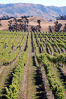 Vineyard near Blenheim in the Marlborough wine making region of New Zealand. 201004115339..Copyright Image from Victor Patterson, 54 Dorchester Park, Belfast, United Kingdom, UK. Tel: +44 28 90661296. Email: victorpatterson@me.com; Back-up: victorpatterson@gmail.com..For my Terms and Conditions of Use go to www.victorpatterson.com and click on the appropriate tab.