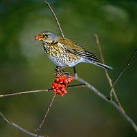 Wacholderdrossel, frisst Früchte von der Eberesche, Vogelbeere, Wacholder-Drossel, Turdus pilaris, fieldfare, La Grive litorne