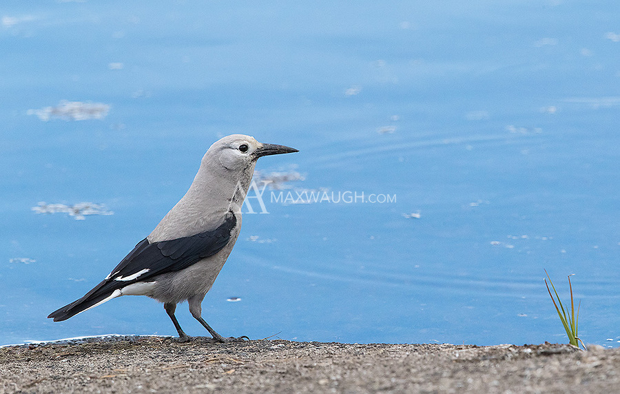 A Clark's Nutcrackers arrives at the edge of Yellowstone Lake for a drink.