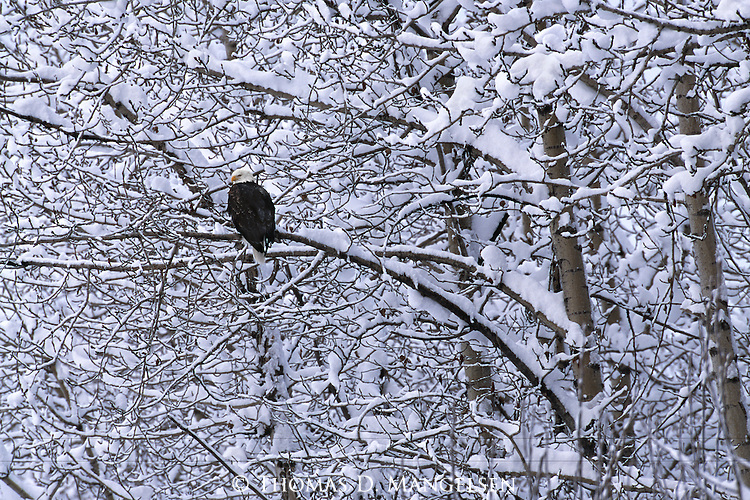 Bald eagle perched in a snowy cottonwood tree along the Chilkat River while it rests from fishing in Southeast Alaska.