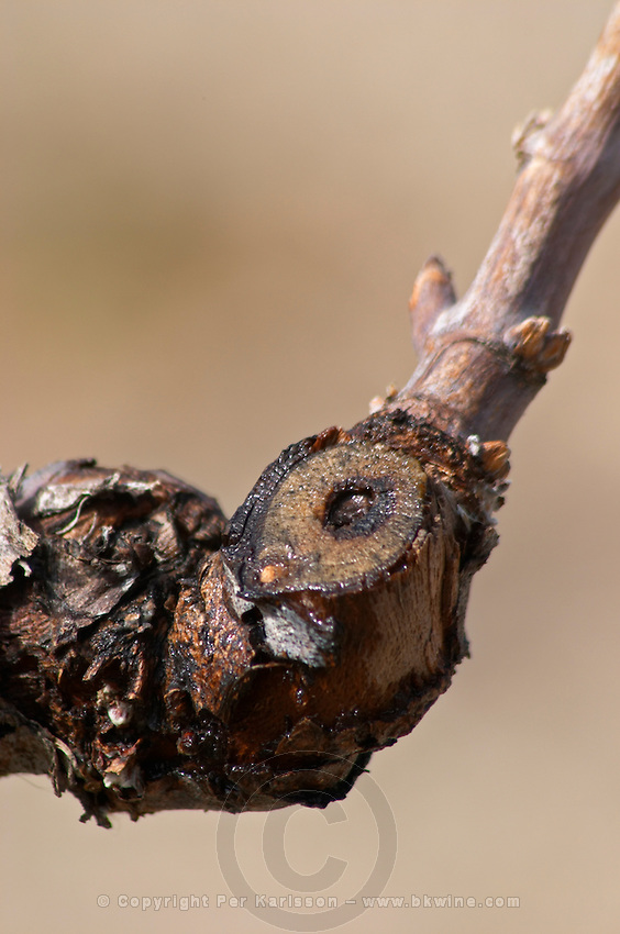 detail of a vine after winter pruning, in spring when temperatures rise, the sap seeps out from the pruning cuts. this is called that the vines cry Les Vignes Pleurent. Grape variety Cinsault Chateau Vannieres (Vannières) La Cadiere (Cadière) d'Azur Bandol Var Cote d'Azur France