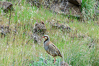 Chukar partridge or chukar (Alectoris chukar).  Photographed near 30 Mile Creek along John Day River, OR.  April