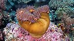 Amphiprion ocellaris, False clown anemonefish, Raja Ampat, Indonesia