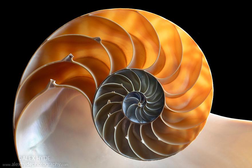 Chambered Nautilus (Nautilus pompilius) shell cross section, originating from Philippines.