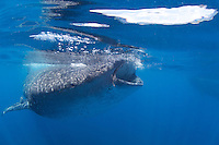 Close up of a whale shark feeding in Holbox, Mexico.
