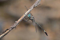 339850004 a wild male slender clubskimmer brechmorhoga praecox perches on a dead stick in sabino canyon pinal county arizona