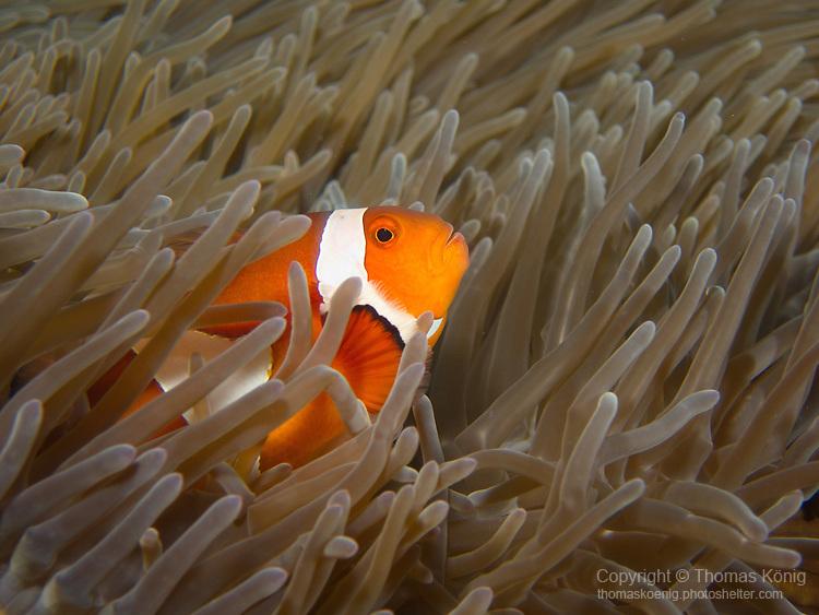 Shi Lang, Green island -- A false clown anemonefish in its anemone.