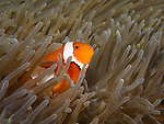 Shi Lang, Green island -- A false clown anemonefish in its anemone.