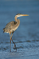Great Blue Heron - Ardea herodias - Adult non-breeding