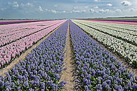 Agricultural field of Hyacinth Flowers, Netherlands, Holland
