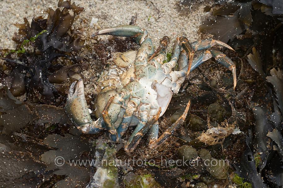 Möwe, Möwen haben Strandkrabbe, Krabbe, Krebs erbeitet und gefressen, übrig bleibt das leere Gehäuse, Krebspanzer, Spülsaum. Gull, gulls have captured a crab. Strandkrabbe, Strand-Krabbe, Dwarslöper, Krabbe, Krebs, Gemeine Strandkrabbe, Carcinus maenas, shore crab, shore-crab, harbour crab, shorecrab, European green crab, European shore crab, green crab, crab