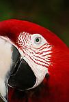 Macaw parrot portrait.
