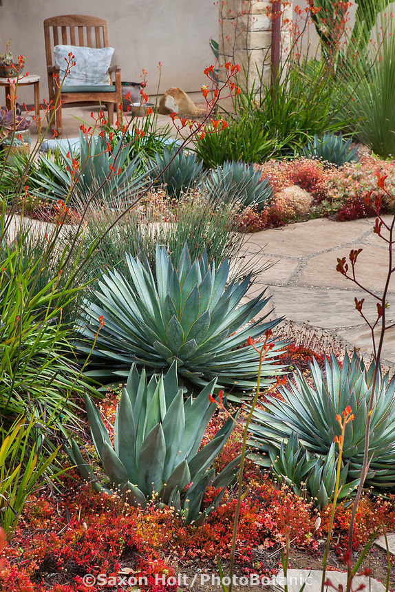 Agave and other succulents in summer-dry drought tolerant garden Santa Barbara California