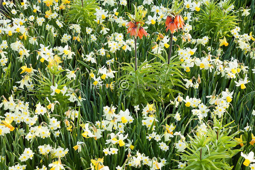 """Hollande, région des champs de fleurs, Lisse, Keukenhof, massif de narcisses et fritillaire impériale avec Narcissus ' Hawera', 'Jetfire', 'W.P. Milner', 'Jack Snipe' & 'Minnow' // Holland, """"Dune and Bulb Region"""" in April, Lisse, Keukenhof,  daffodils ' Hawera', 'Jetfire', 'W.P. Milner', 'Jack Snipe', 'Minnow' and Crown imperial or Kaiser's Crown (Fritillaria imperialis)."""