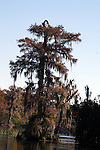 A cypress tree in fall colors draped in spanish moss.  Cypress trees grow slowly, so the age of this tree is estimated to be close to 1000 years.
