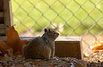 Squirrel Baseball Fan California ground squirrel