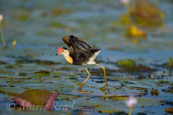 Comb-crested Jacana (Irediparra gallinacea), adult stretching its wings, Yellow Water, Kakadu National Park, Northern Territory, Australia