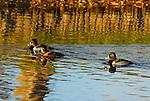 ducks, scaups