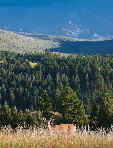 Mule Deer doe with the peaks of the Anaconda Pintler Mountain range in the background