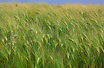 AT5CJE Side view of field of barley blowing in the breeze
