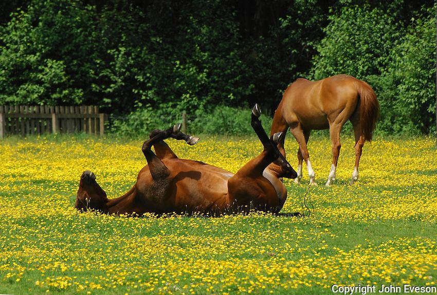 Chestnut horses in a field full of buttercups Ranunculus acris, Dunsop Bridge, Lancashire. One rolling....Copyright..John Eveson, Dinkling Green Farm, Whitewell, Clitheroe, Lancashire. BB7 3BN.01995 61280. 07973 482705.j.r.eveson@btinternet.com.www.johneveson.com