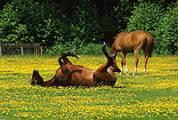 Chestnut horses in a field full of buttercups Ranunculus acris, Dunsop Bridge, Lancashire. One rolling....Copyright..John Eveson, Dinkling Green Farm, Whitewell, Clitheroe, Lancashire. BB7 3BN.01995 61280. 07973 482705.j.r.eveson@btinternet.com.www.johneveson.com