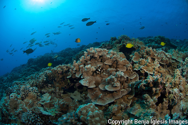 Scenic shot of mid reef at 65 feet Molokini Maui Hawaii.