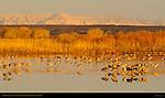 Sandhill Cranes at Sunset, Bosque del Apache Wildlife Refuge, New Mexico